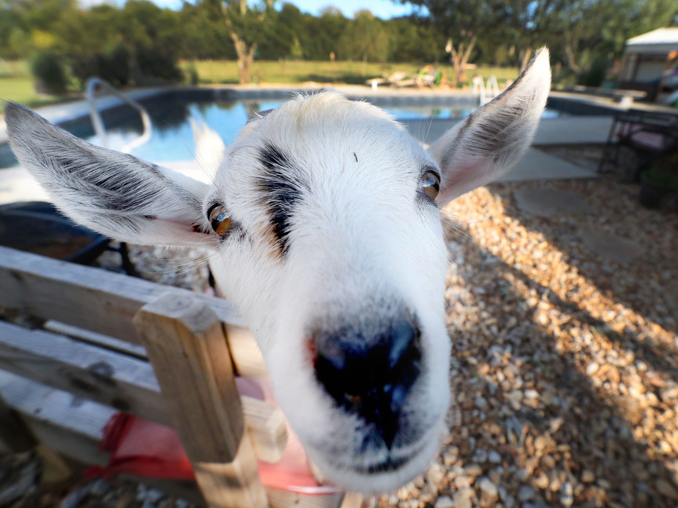 Felix the goat takes a closer look at the camera at Sugarbush Farms, on Tuesday, Sept. 18, 2018.
