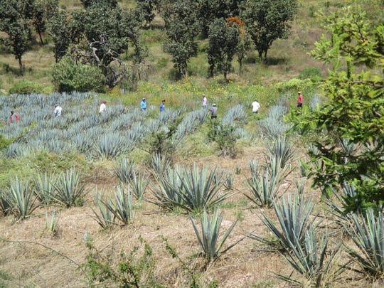 Farmers in Mexico are scrambling to plant more agave plants as demand for tequila soars in the U.S.