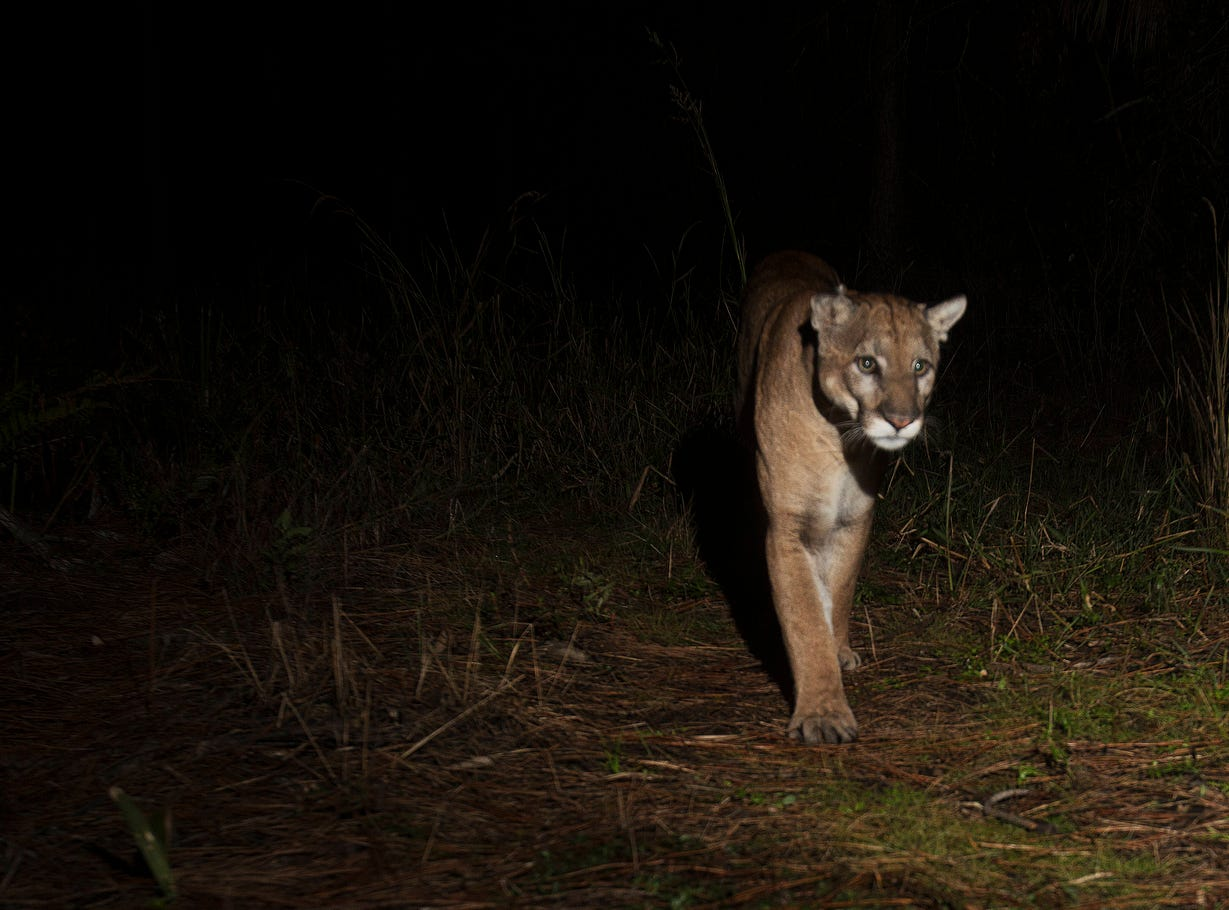 A pair of Florida panthers were captured by a camera trap set up on the north end of Corkscrew swamp in the CREW Land Trust lands. According to Darrell Land, the Florida panther team leader for the  Florida Fish and Wildlife Conservation Commission, they could be a mating pair, but he couldn't say for sure because the photos don't show their gender.The FWC website says that mating pairs stay together for about a week. Births can occur at any time of year but are most common between March and July. The gestation period for kittens is 92-96 days. Florida Fish and Wildlife Conservation Commission  panther biologists estimate there are 120-230 adult panthers and yearlings in Florida.