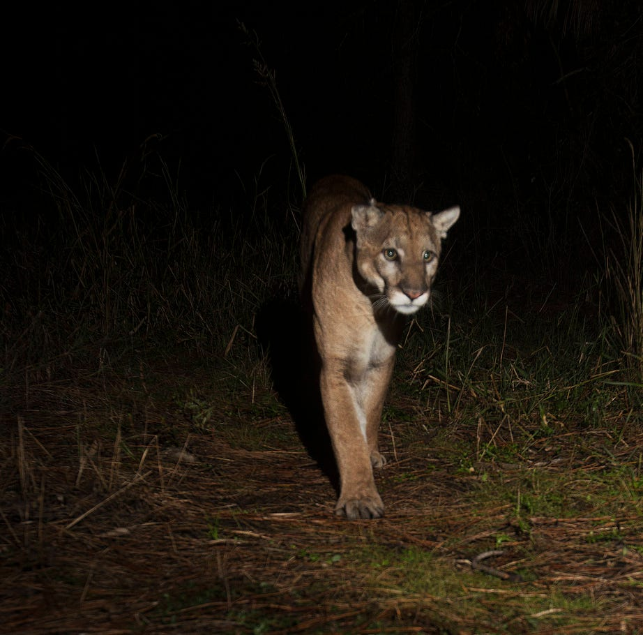 Florida panther found dead in Collier County, sixth death this year