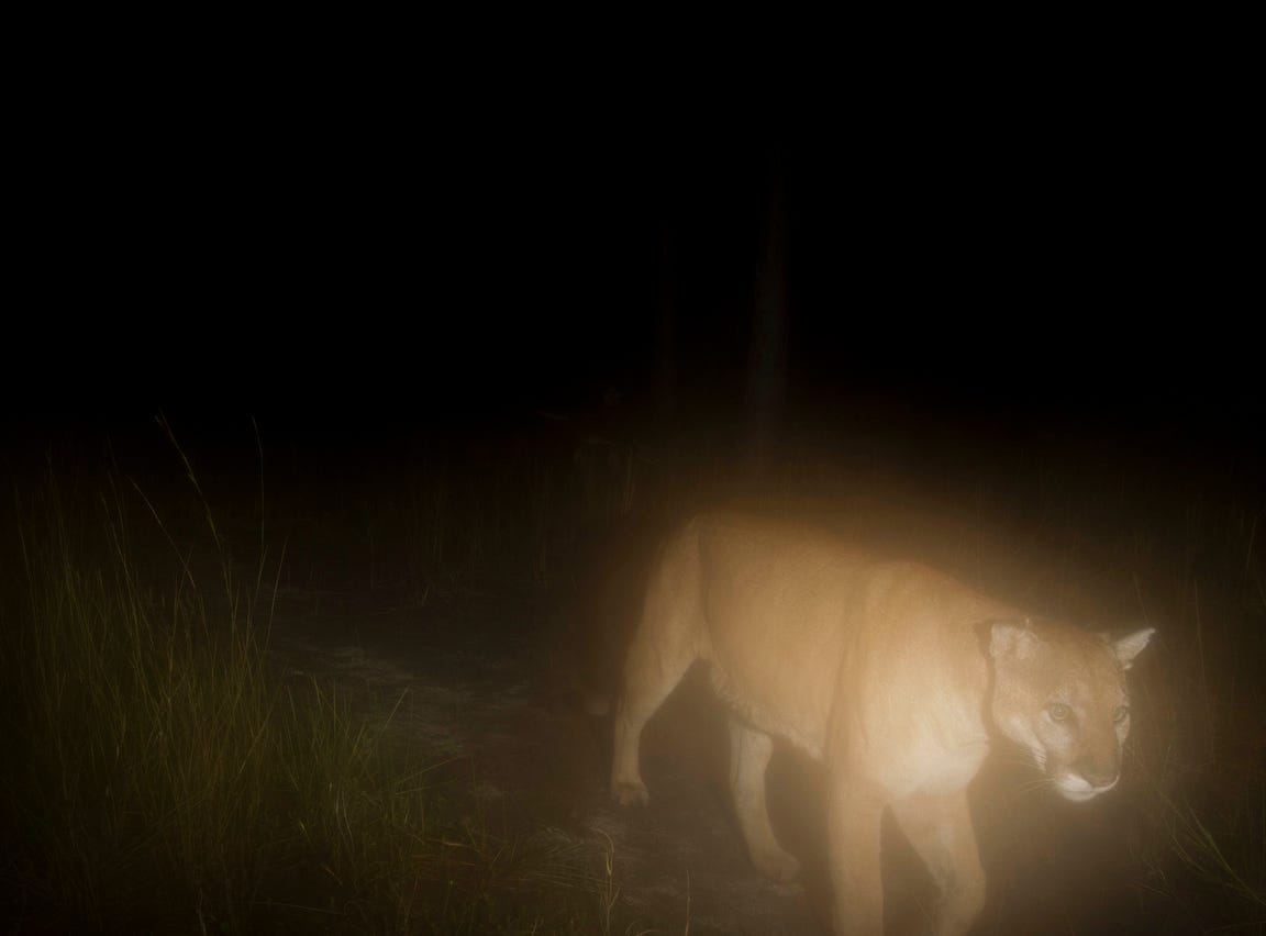 For over a year News-Press photographer Andrew West has kept a  camera trap set up in the Corkscrew Regional Ecosystem Watershed. These are some of his favorite images. They include Florida panthers, young and old, black bear, white-tailed deer, bobcat, wild turkey, rabbits, a red shouldered hawk, a turkey vulture, hikers, and pets which include dogs and horses.