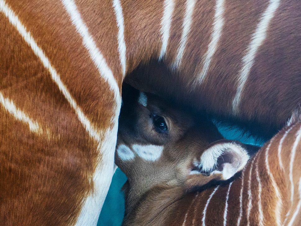 A male bongo was born at the Naples Zoo last week. It is not on exhibit yet but will be soon after it learns to follow its mother into enclosures. Bongos are a African antelope. The  Naples Zoo is letting the public vote on one of three names.