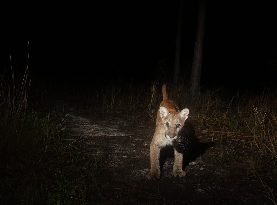 A young Florida panther trips a camera trap. For over a year News-Press photographer Andrew West has kept a  camera trap set up in the Corkscrew Regional Ecosystem Watershed. These are some of his favorite images. They include Florida panthers, young and old, black bear, white-tailed deer, bobcat, wild turkey, rabbits, a red shouldered hawk, a turkey vulture, hikers, and pets which include dogs and horses.