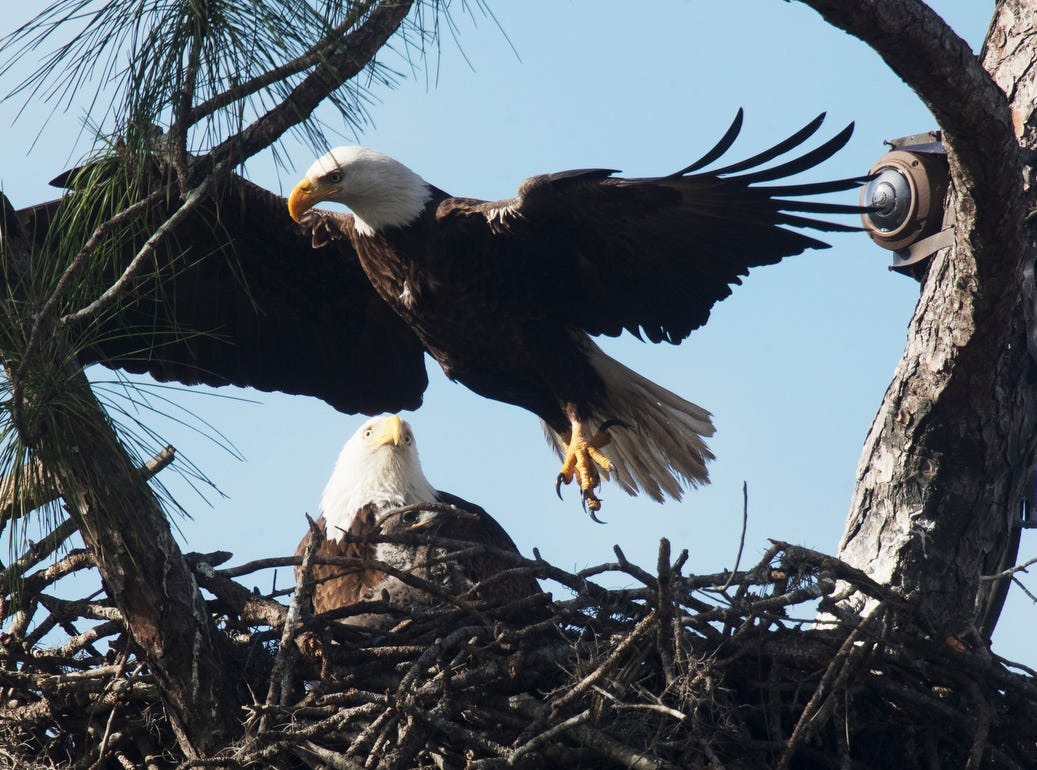 One of the eaglets of from the famous Southwest Florida Eagle Cam at Dick Pritchett Realty in North Fort Myers prepares to get fed on Wednesday 1/23/2019. The one month birthday of the two eaglets is coming up in the next few days.