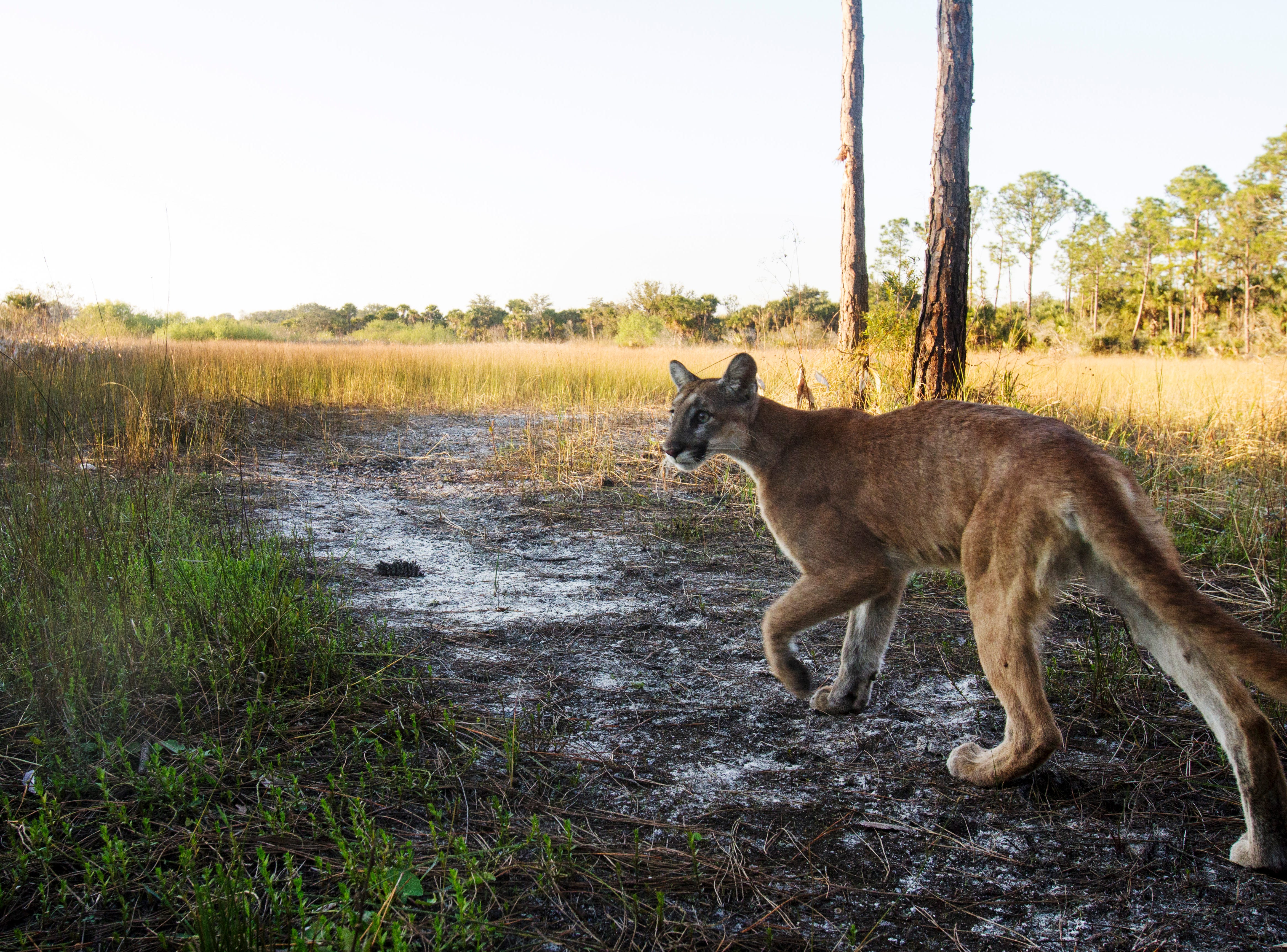 A young Florida panther trips a camera trap. For over a year News-Press photographer Andrew West has kept a  camera trap set up in the Corkscrew Regional Ecosystem Watershed. These are some of his favorite images. They include Florida panthers, young and old, black bear, white-tailed deer, bobcat, wild turkey, rabbits, a red shouldered hawk, a turkey vulture, hikers, and pets which include dogs and horses. ettle. This one is old and on its last legs. According to FWC biologist Dave Onorato: That's a young panther, likely just about a year old and perhaps still traveling with Mom.  That panthers is in fine shape, good coat, etc.  This animal surviving to year 1 is already beating the odds (33% survival rate for kittens to year 1).  But, there is still the process of surviving to year 2 that will involve facing a lot of hurdles (dispersal, finding a home range, encountering competitors).
