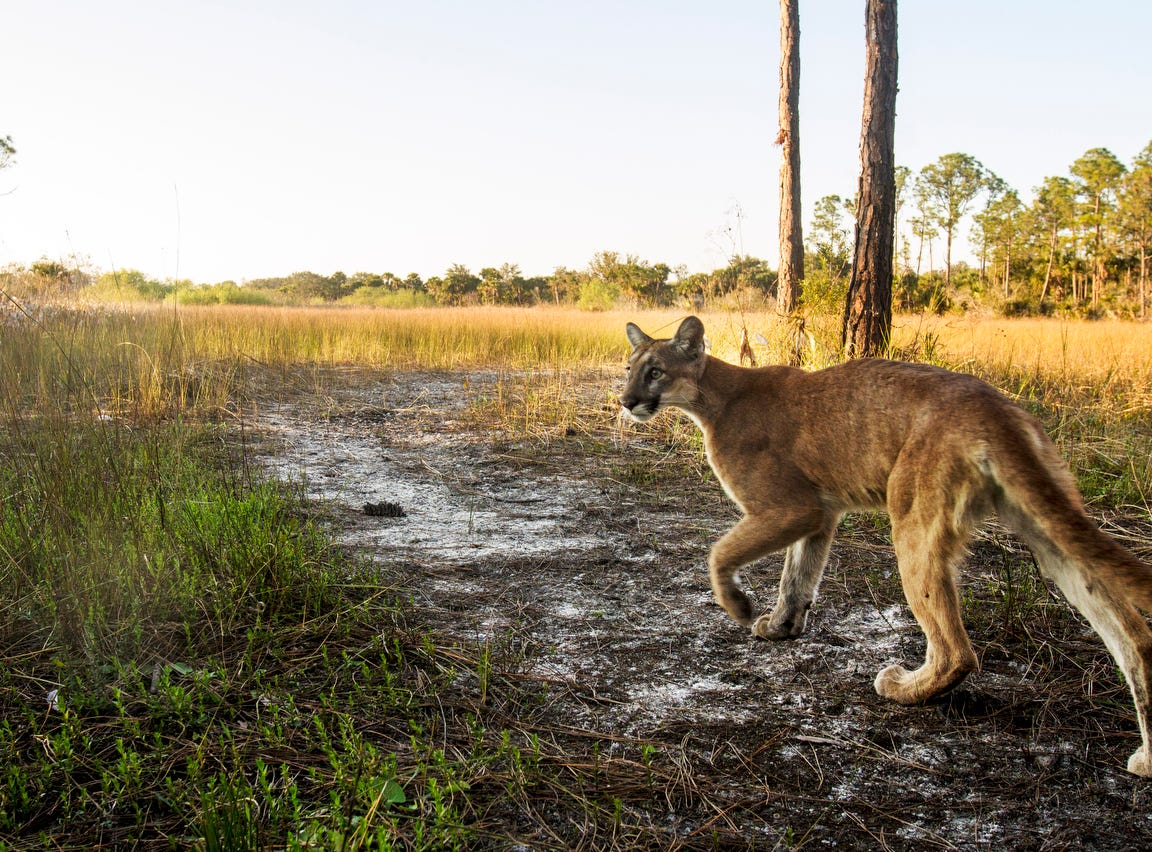 A Florida panther strolls past a camera trap set up at the Corkscrew Regional Ecosystem Watershed  at 4:15 p.m.  on January 15, 2019. According to Florida Fish and Wildlife Conservation Commission panthers are generally crepuscular mammals that travel and hunt at dawn or dusk. The camera trap is set up by News-Press photographer Andrew West.  This is from FWC panther biologist Dave Onorato: That is  a young panther, likely just about a year old and perhaps still traveling with Mom.  That panthers is in fine shape, good coat, etc.  This animal surviving to year 1 is already beating the odds (33% survival rate for kittens to year 1).  But, there is still the process of surviving to year 2 that will involve facing a lot of hurdles (dispersal, finding a home range, encountering competitors).