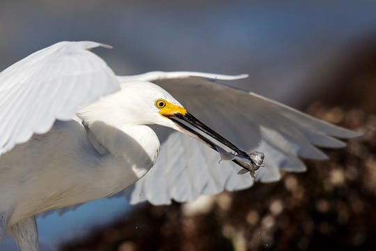 A snowy egret catches a meal in the Gulf of Mexico on the south end of Fort Myers Beach on Tuesday 1/29/2019.