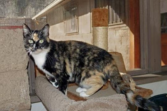 My name is Tena. I'm an 8-month-old female with spectacular calico marking.
