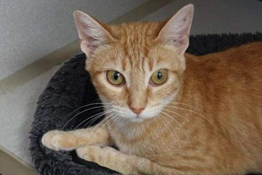 Roxette is a 1 1/2 yr. old female. She has a beautiful orange/cream tabby coat that is very soft.