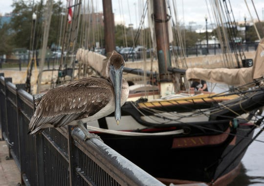 The tall ship Lynx has arrived back in Pensacola. On Monday, Feb. 4, 2019, the recreation of a 19th-century schooner was docked in Pensacola along the pier at  Plaza de Luna on Monday, Feb. 4, 2019.  The living history museum will be in City of Five Flags offering tours to the public through March 11.