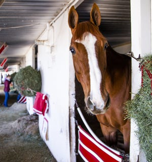 Thoroughbred My Samurai Warrior looks out from his stall at Turf Paradise in Phoenix on Jan. 22, 2019.