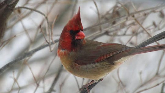 Shirley Caldwell snapped a photo of a rare half-male, half-female cardinal as it say on a tree branch near her home.