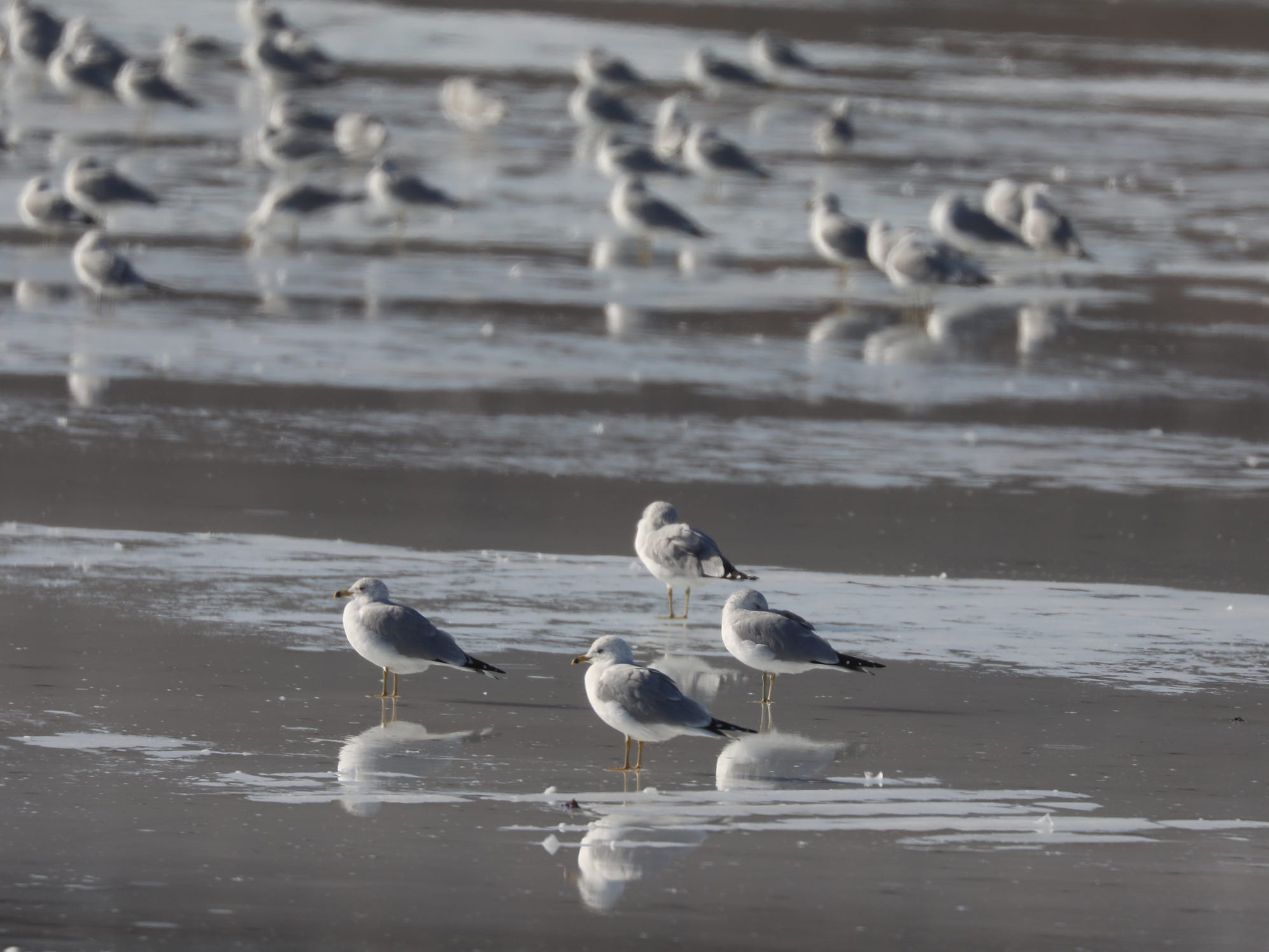 Gulls are reflected on the thin layer of ice on top of Irondequoit Bay. the ice continued to get thinner through the day as temperatures passed 60.