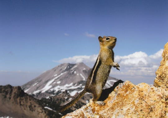 A golden-mantled ground squirrel standing on rocky on the craggy summit of Brokeoff Mountain with Lassen Peak in the background.