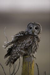 A barred owl perches on a fencepost while keeping its eyes on prey in Eagleville.