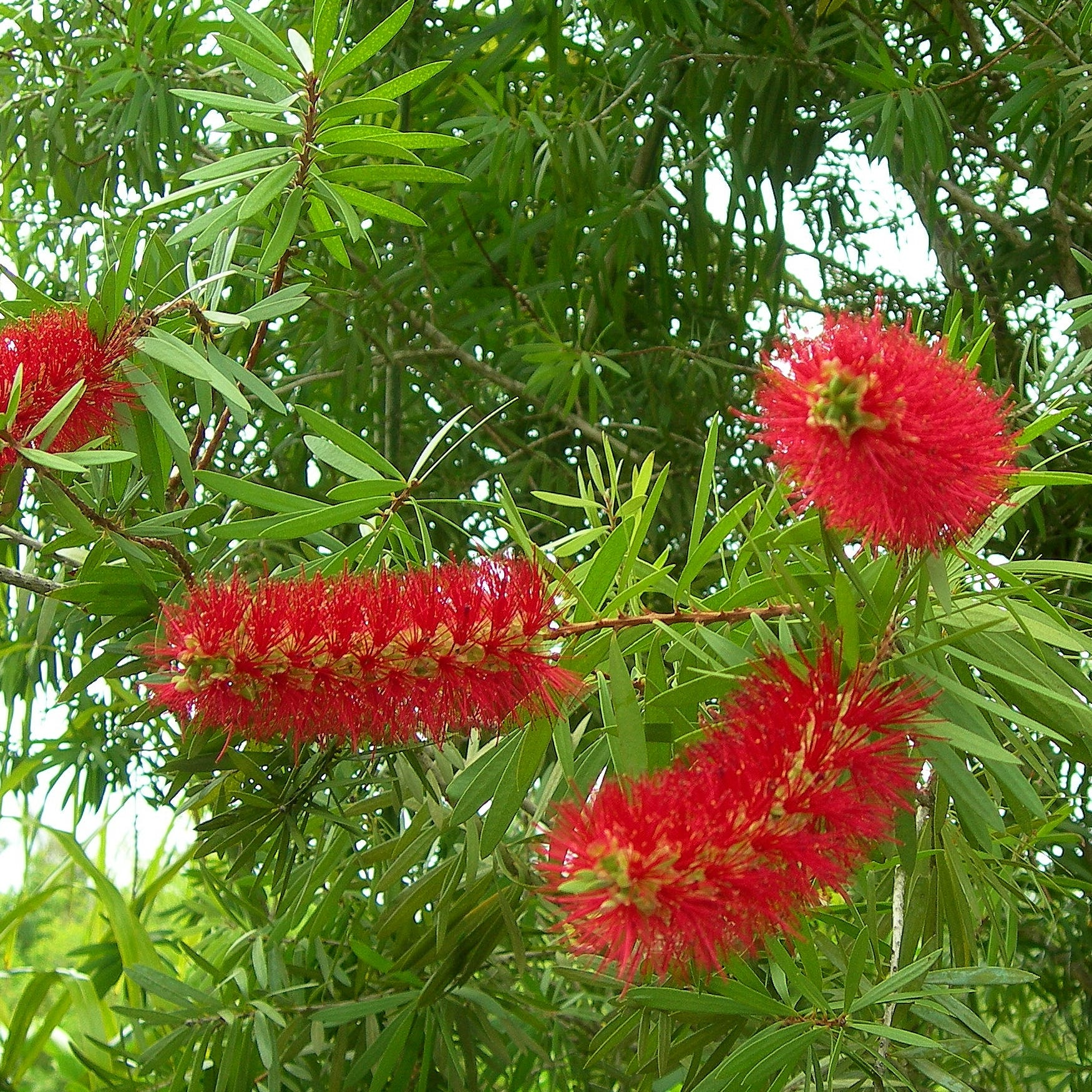 Bottlebrush trees produce pretty flowers but are short lived in Treasure Coast landscapes