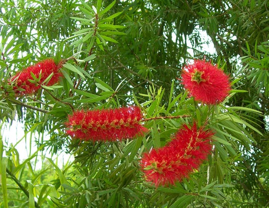 Bottlebrush trees from Australia are beautiful additions to Treasure Coast landscapes. However, they are often short-lived due to pest problems.  Also, the trees are brittle and break in strong winds. Prune them while young to establish strong branches and trunks to reduce breakage during storms.