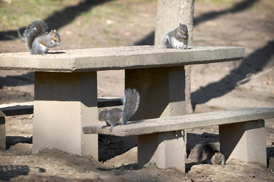 A group of squirrels enjoy an early lunch on a table at Hominy Creek River Park on Feb. 5, 2019. The weather was unseasonably warm with a high of 68 degrees Tuesday and was expected to continue to rise to a high of 71 degrees on Thursday.