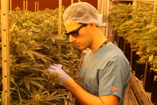 Jacob Schwab, a cultivation agent with Standard Wellness, inspects medical marijuana plants at the company's Gibsonburg cultivation facility Tuesday.  The company is harvesting its first crop of medical marijuana at the grow facility.