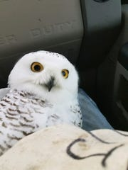 A snowy owl rescued January 2018 from Green Bay Austin Straubel International Airport by Project SOAR.