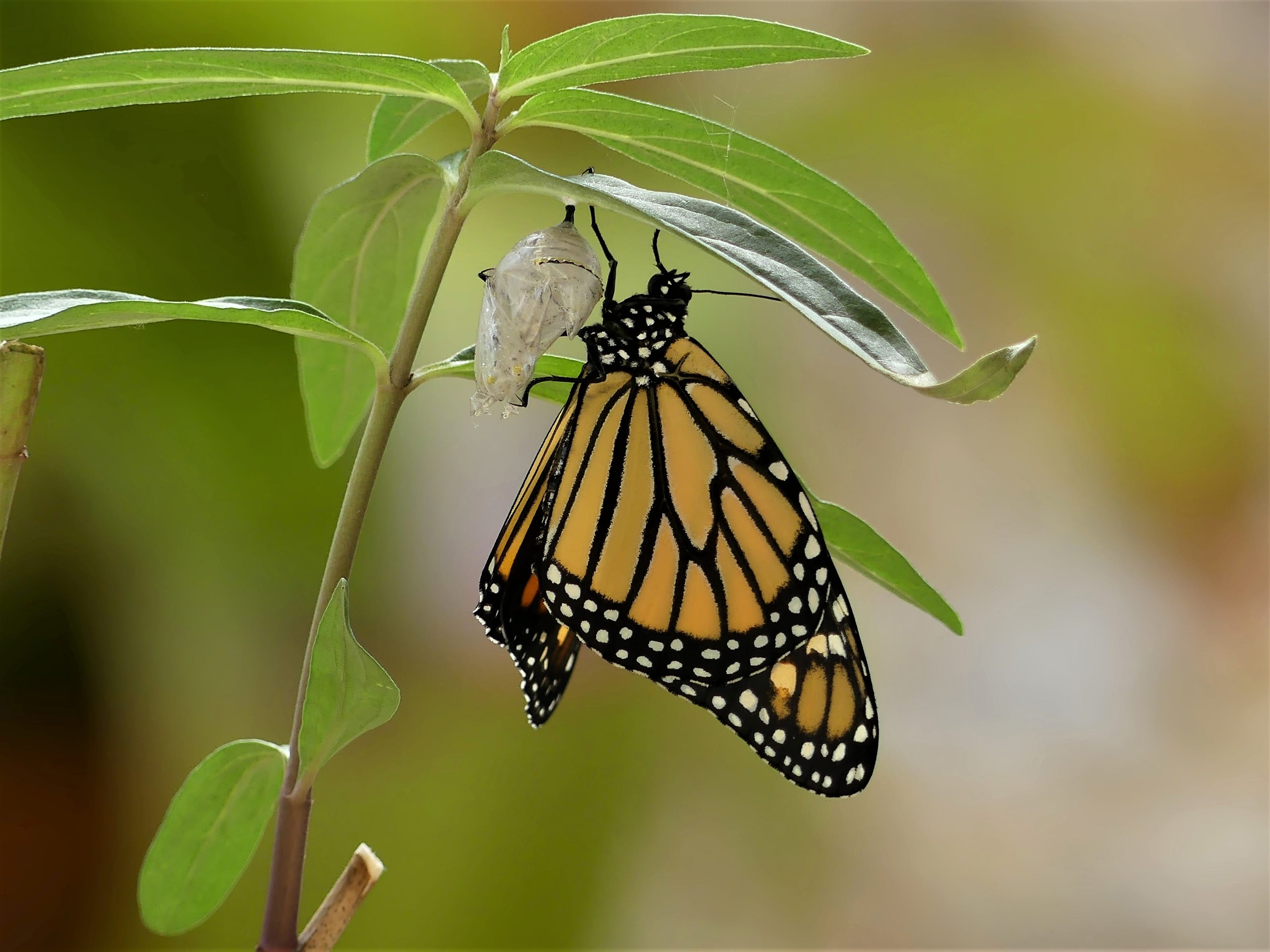 """Steve Rimar of Estero writes, """"a Monarch Butterfly just emerged from it's Chrysalis to start a new life."""""""