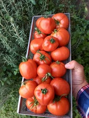 Fresh tomatoes are one of many backyard vines typical of organic farming.