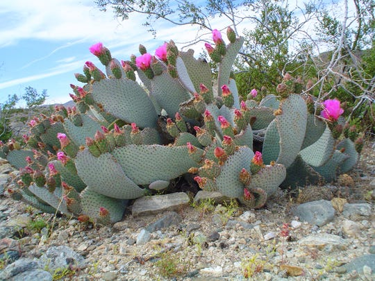 A large old beaver tail in bloom at Joshua Tree National Park, close to Cholla Garden.