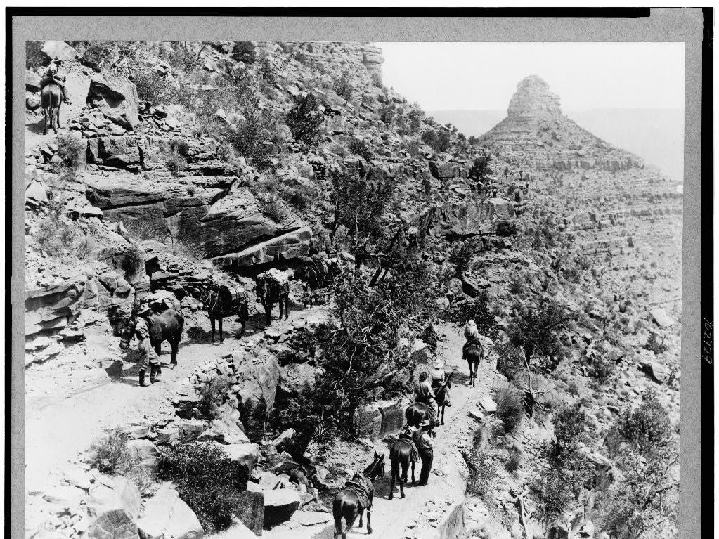 A mule train heads back to the rim, ca. 1920.