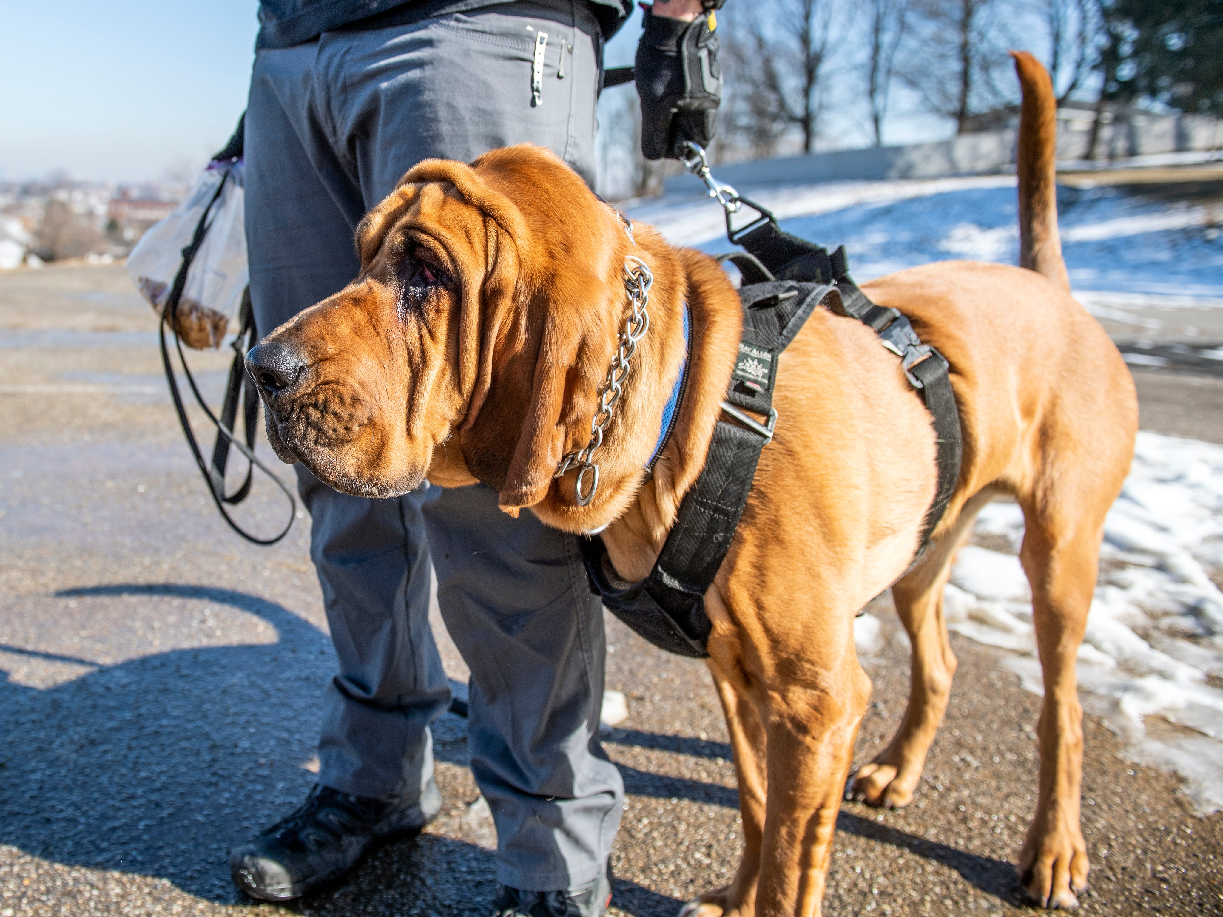 While bloodhounds usually appear dopey, Detective Prince is ready to work and gets excited when he gets a new scent, contrasting his look while on standby, here, Monday, Feb. 4, 2019. West York Borough's Detective Prince - who just turned 2-years old - has helped county law enforcement in 30 cases over the past year.