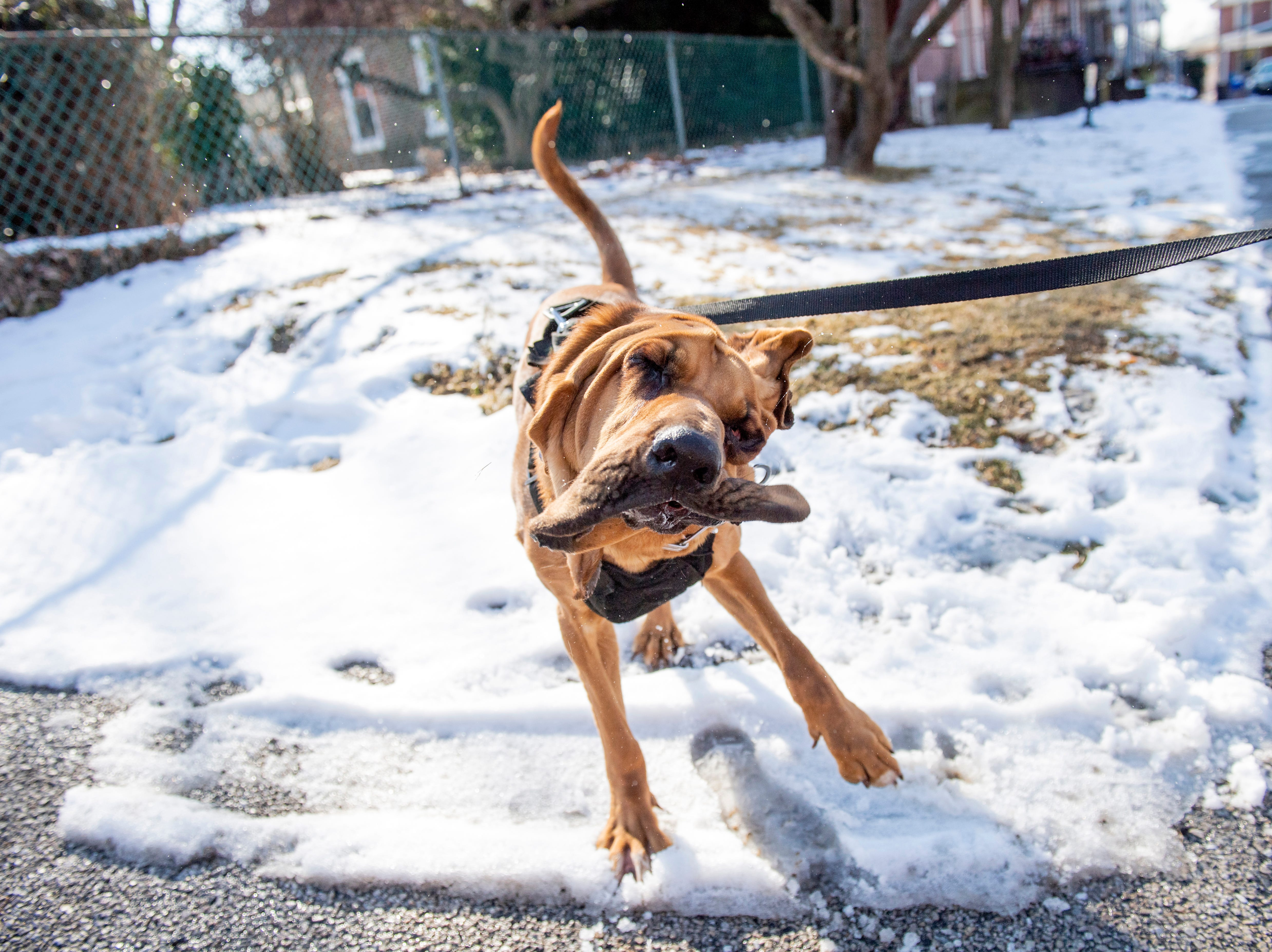 Detective Prince shakes around after completing a demonstration on Monday, Feb. 4, 2019. West York Borough's Detective Prince - who just turned 2-years old - has helped county law enforcement in 30 cases over the past year.