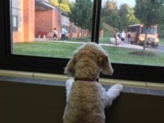 Winnie, one of three certified therapy dogs owned by Jill Davis, a vocal music teacher at Palmyra-Macedon High School, excitedly waits for students to get off school buses and come into the school in the morning.