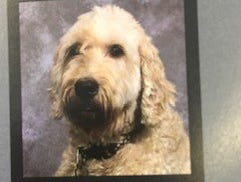 Katie, one of three certified therapy dogs owned by Jill Davis, a vocal music teacher at Palmyra-Macedon High School, has had a book written about her work as a therapy dog in school and appears in the school yearbook each year.