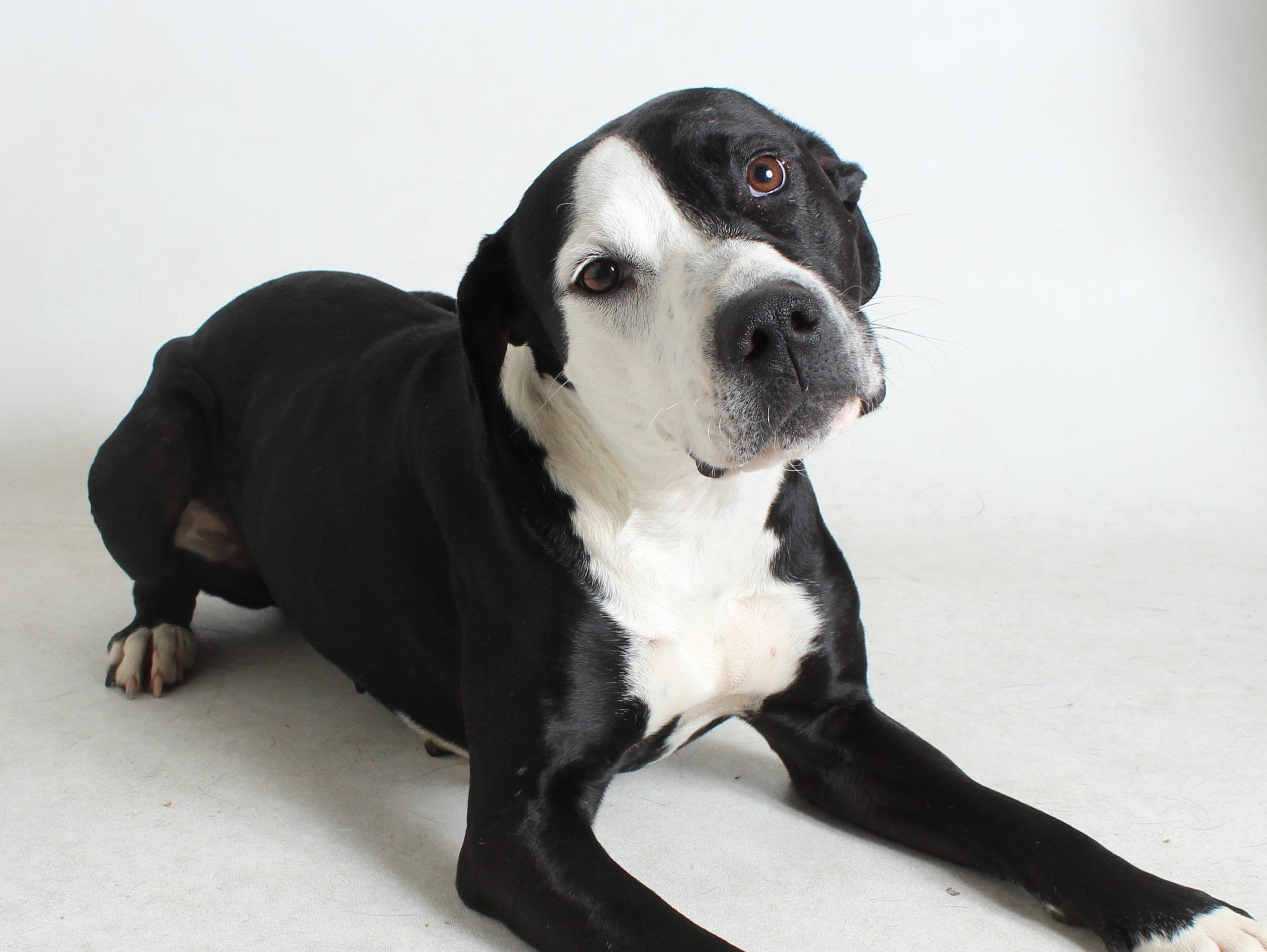 Glorious is a 5-year-old, black and white, female pit bull mix. She's very sweet and does well with kids and other dogs. All feline and canine adoptions include spaying or neutering, vaccinations and a microchip. Visit Haven Humane Society, 7449 Eastside Road, Redding. Call 241-1653. Go to www.havenhumane.net.