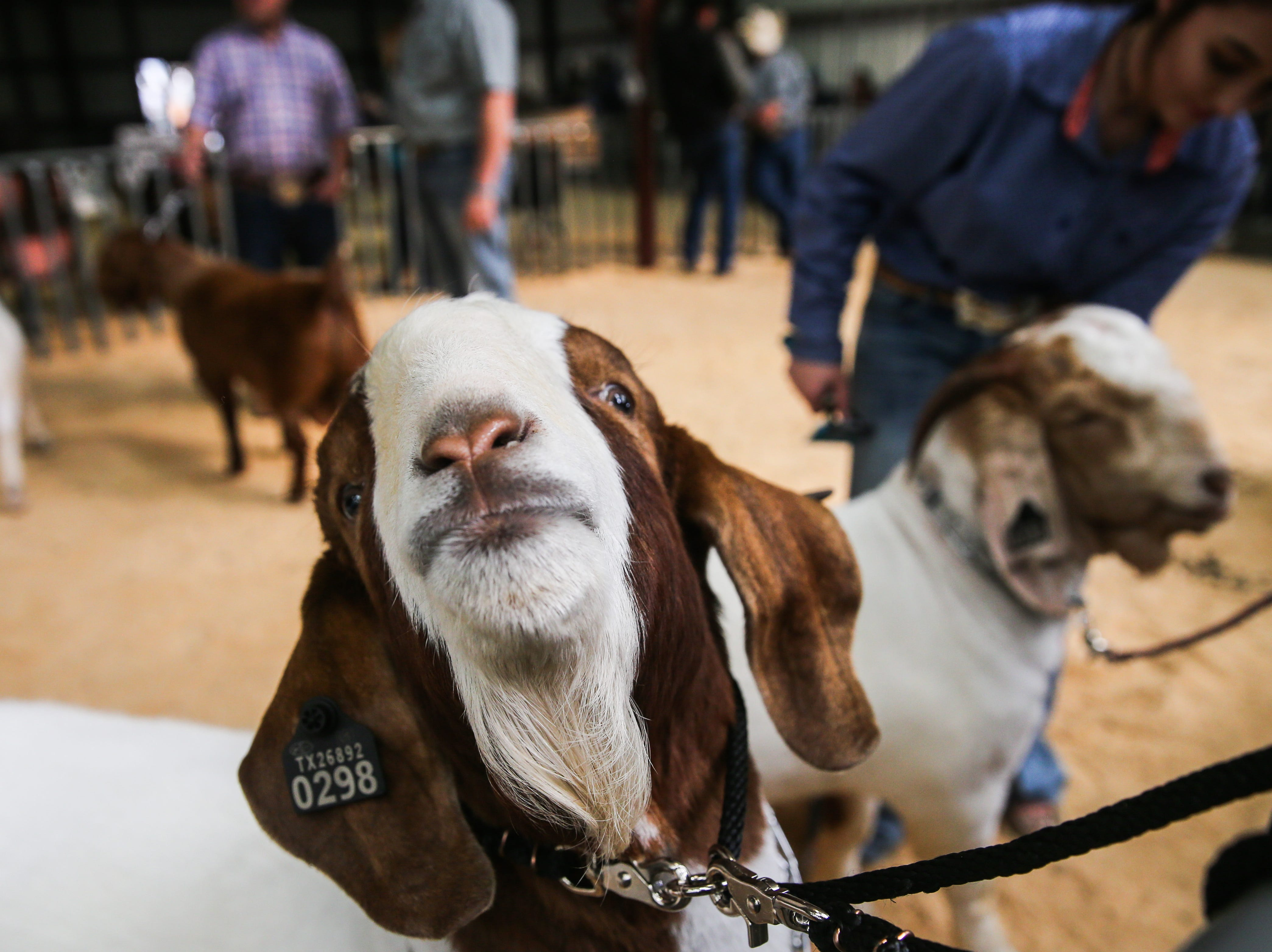 Lorelai Row from Abilene preps her boer goat before the open show during San Angelo Stock Show & Rodeo Tuesday, Feb. 5, 2019, at the at the First Financial Pavilion.