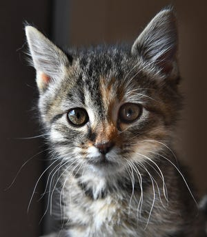 Lila is a 3-week-old, grey tabby female kitten. She is vaccinated, spayed and microchipped. Lila is curious, sweet and available for adoption at the Humane Society of Wichita County.