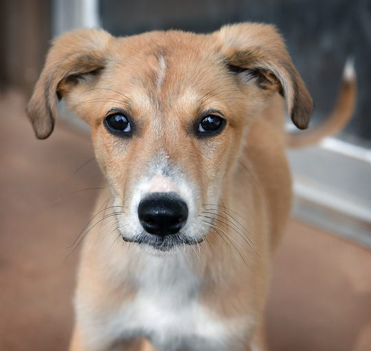 Sawyer is a 3-month-old, tan colored male, Great Pyrenees/Greyhound mix. He is neutered, vaccinated and microchipped. Sawyer is cute, playful and available for adoption at the Humane Society of Wichita County.