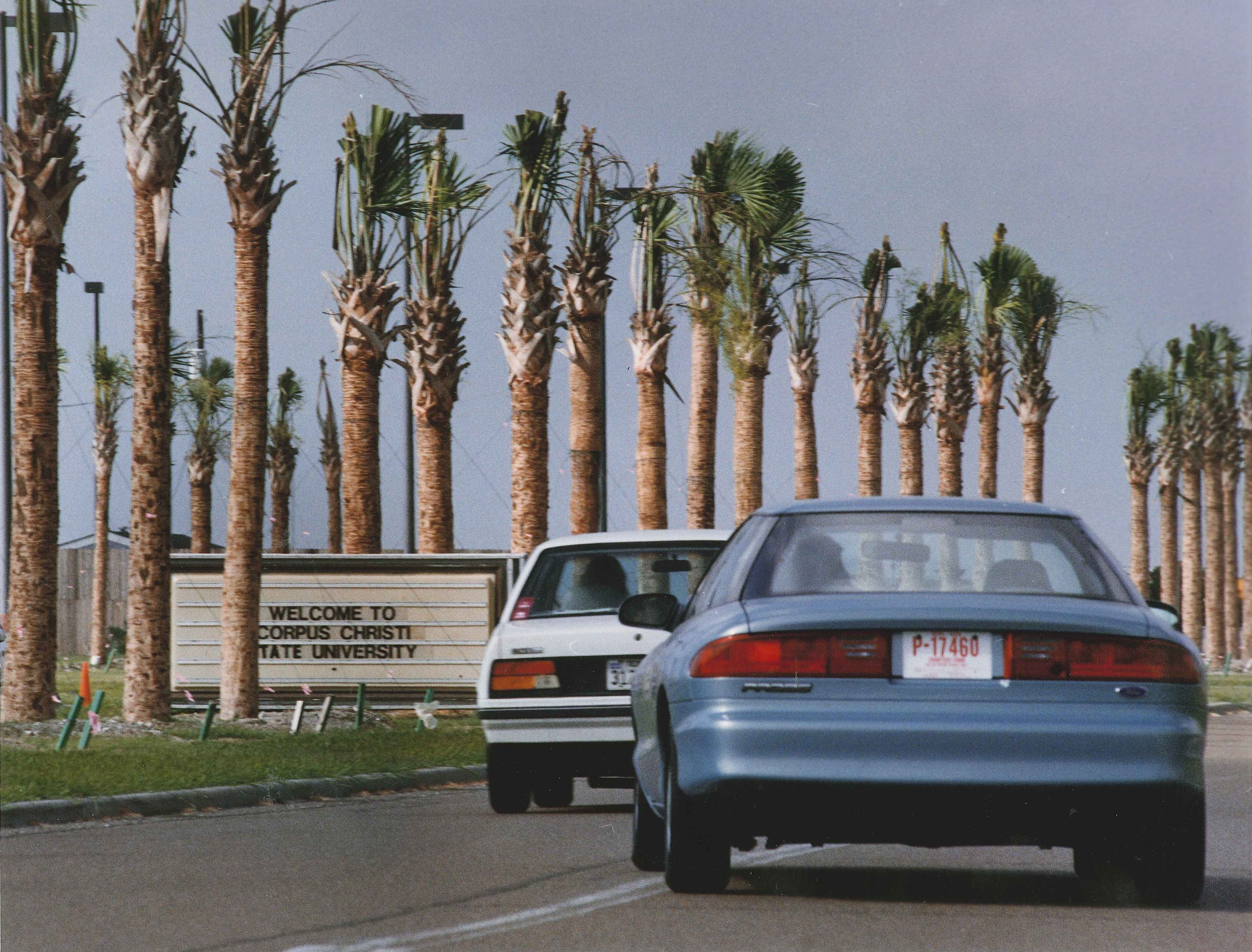Traffic passes recently planted palm trees along the main entrance of the Corpus Christi State University campus on July 8, 1993. The beautification project came ahead of the school's name change to Texas A&M University-Corpus Christi that fall.