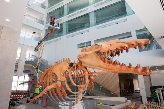 The prehistoric whale Basilosaurus prepares to be lifted to its second-floor home above the museum's main entrance