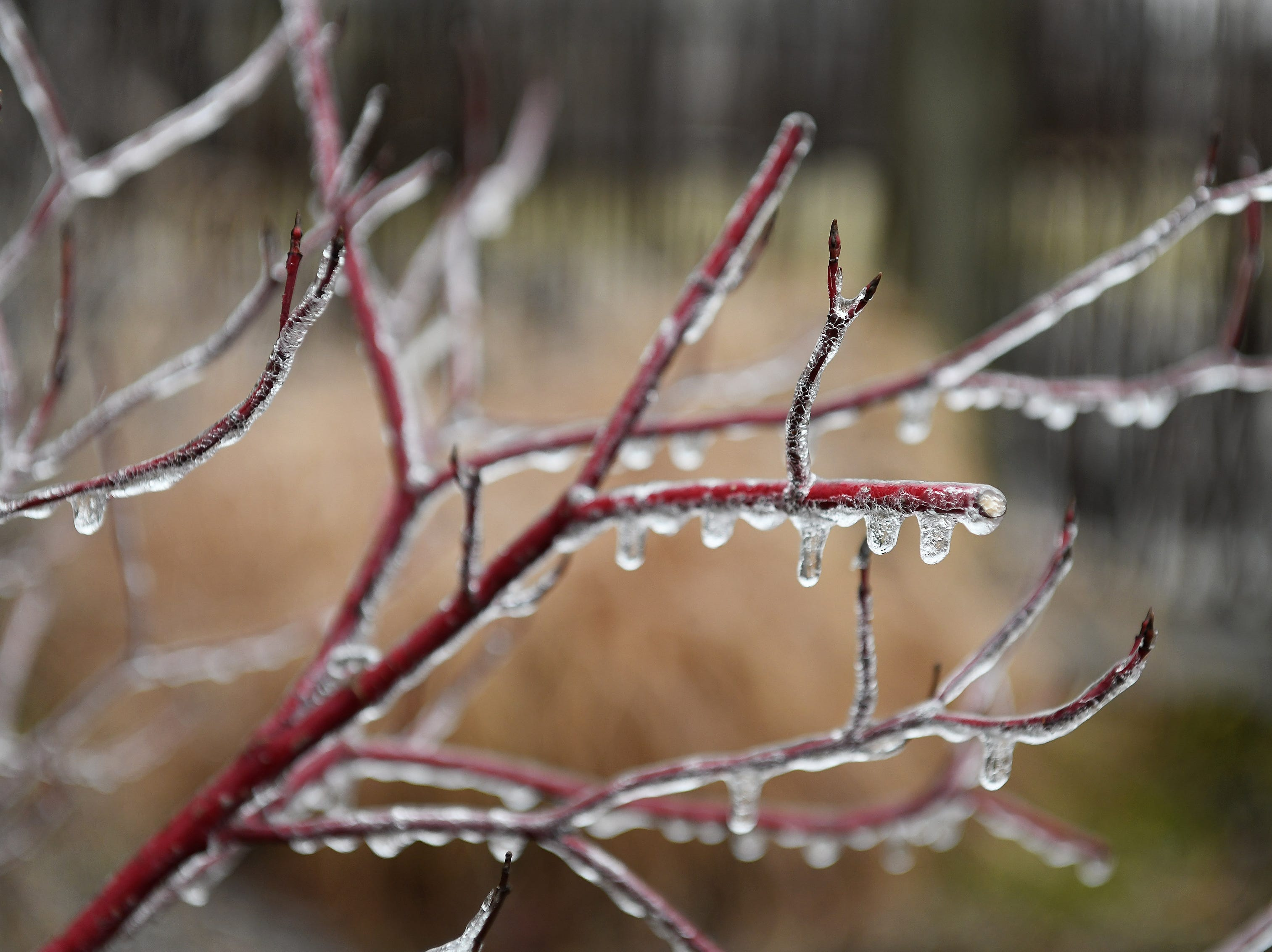 Ice covers the thin branches of a bush in Detroit on Wednesday.