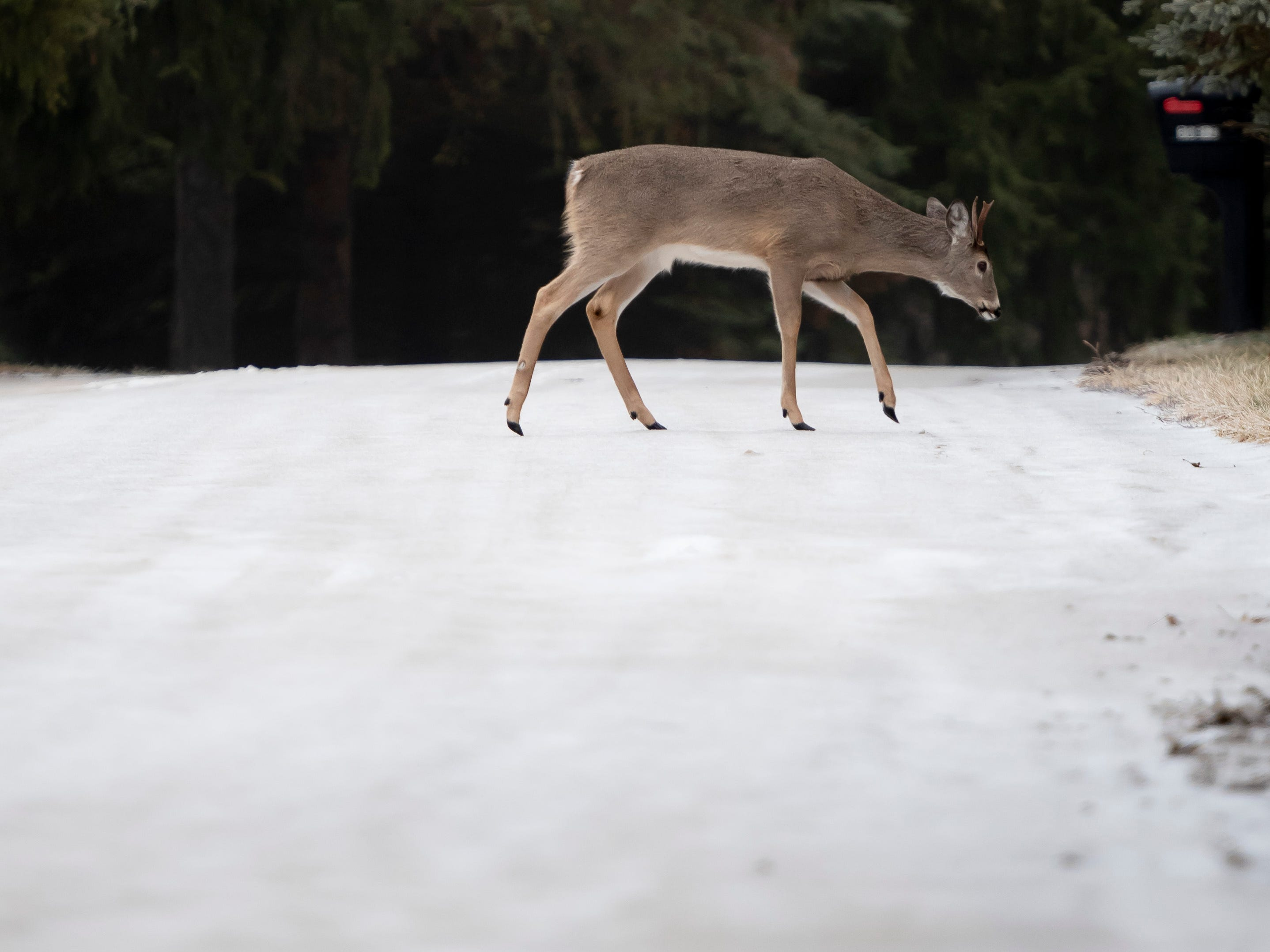 A young spike buck gingerly steps across icy Pear Ridge Road in Farmington Hills Wednesday.