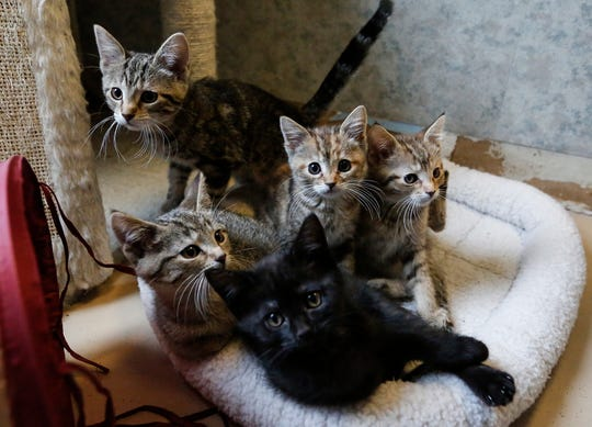 Five kittens wake from an afternoon nap Tuesday, February 5, 2019, at the Fond du Lac Humane Society in Fond du Lac, Wis. All the animals will soon be transferred over to a new building being built next to the existing building on Triangle Road, set to open in March. Doug Raflik/USA TODAY NETWORK-Wisconsin