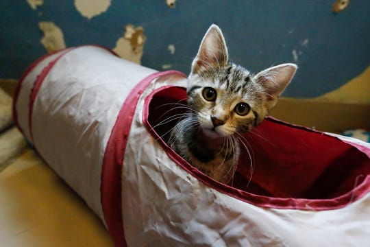 A kitten sticks its head out of a cat tunnel at the Fond du Lac Humane Society.
