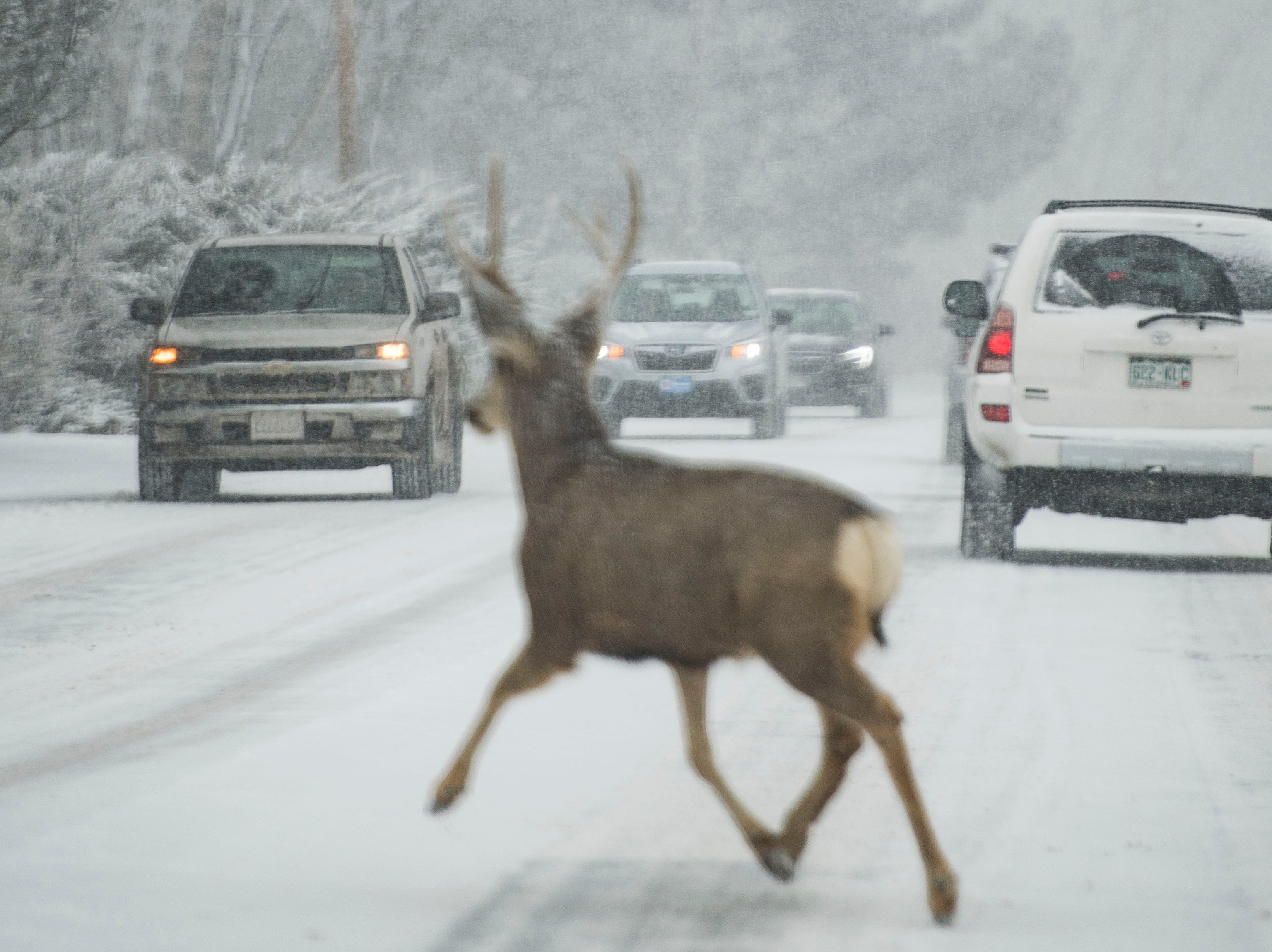 A mule deer buck crosses the street in front of traffic during a snowstorm on Wednesday, Feb. 6, 2019, near Terry Lake in Fort Collins, Colo.