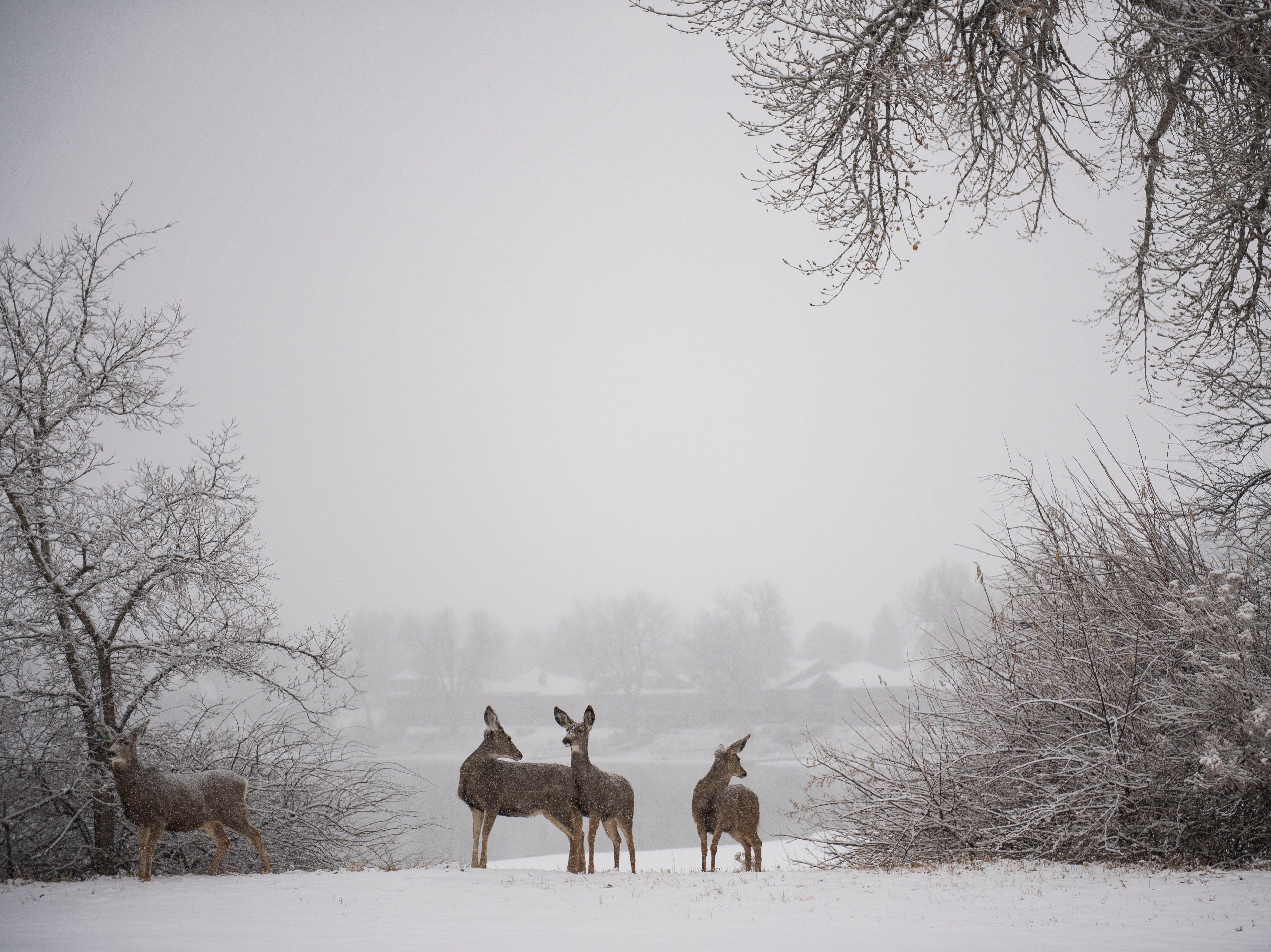 Mule deer wait to cross the street during a snowstorm on Wednesday, Feb. 6, 2019, near Terry Lake in Fort Collins, Colo.