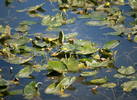 Spatterdock plants have grown in thick patches in some canals in Cape Coral. The Lee County Hyacinth Control District is using herbicides to keep the native plant under control.