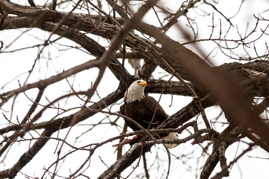 A bald eagle eats a fish while sitting in a tree along the Iowa River on Wednesday, Feb. 6, 2019, in Iowa City, Iowa.