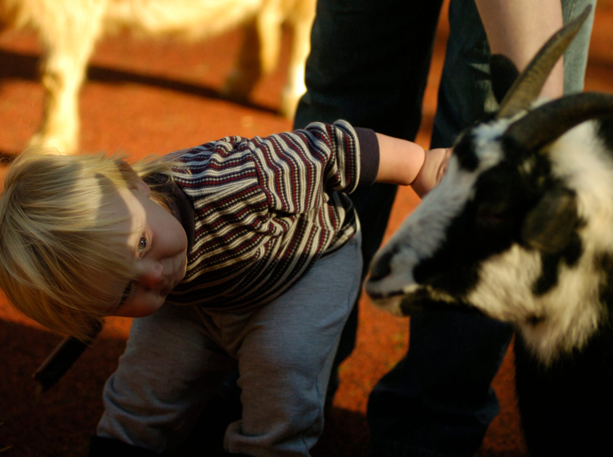 Devon Krippendorf, 18 months, gazes intently at one of the goats at Knoxville Zoo's Kid's Cove petting zoo Thursday. The Knoxville Zoo had more visitors in 2005 than its entire 57-year history. 2006