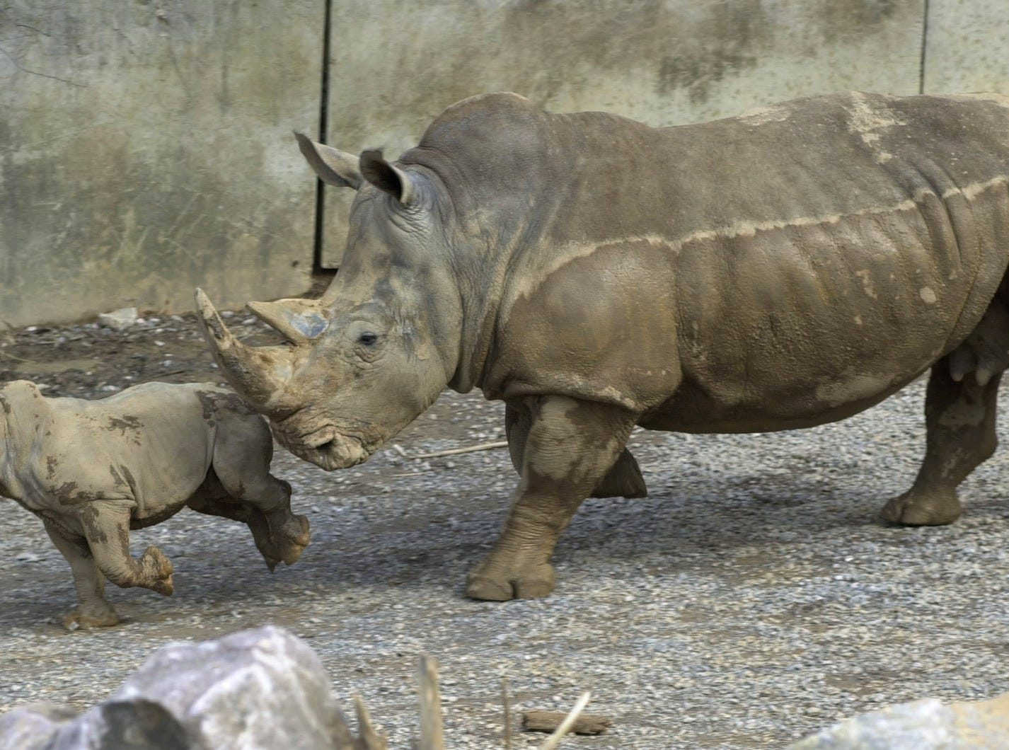 The Knoxville Zoo has a new attraction, a baby rhino.  The zoo is experiencing growth, expanding its facilities, and looking forward to a promising year.