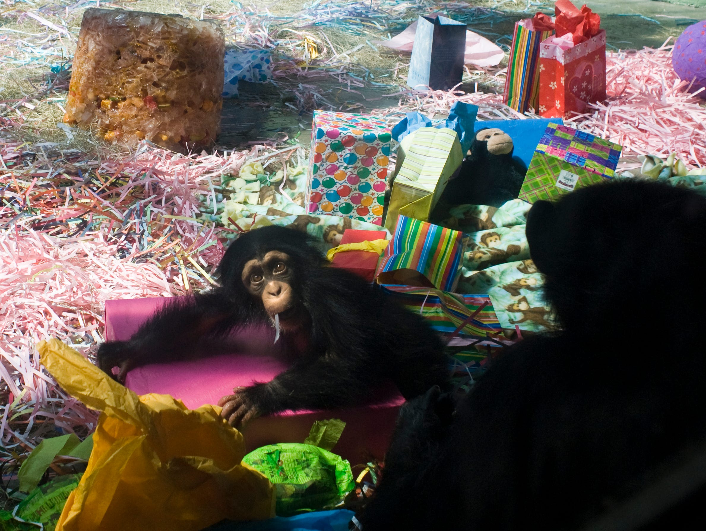 "Knoxville Zoo's baby chimpanzee, George, celebrated his first birthday on Saturday, July 18, 2009. The chimpanzee exhibit was decorated with colorful streamers, plates, presents and even a ""birthday cake"" made of frozen fruits.