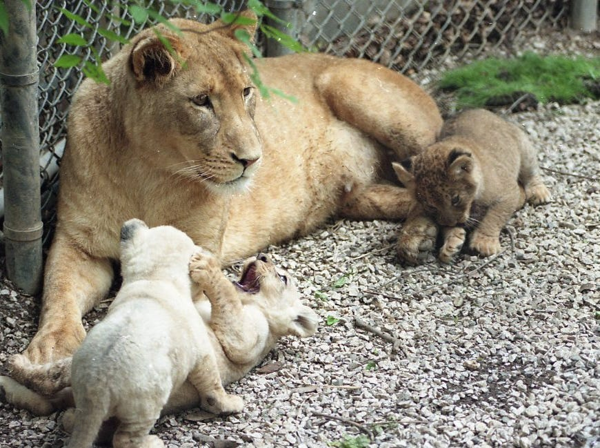 Sylvan keeps a close eye on some visitors while her three new cubs play around her at the Knoxville Zoo in May 1998. The three male cubs were born in March at the zoo and bring the total sub-species of South African lions in Northern America to 43.